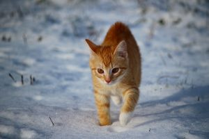 orange and white cat walking in snow